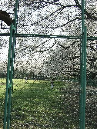 石神井の桜05