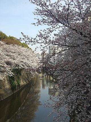 江戸川橋の桜01