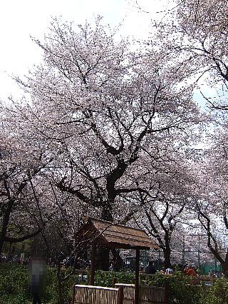 石神井の桜08