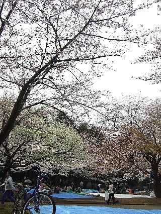代々木公園の花見02