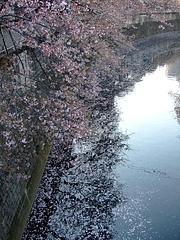 2008_0406sakura0016