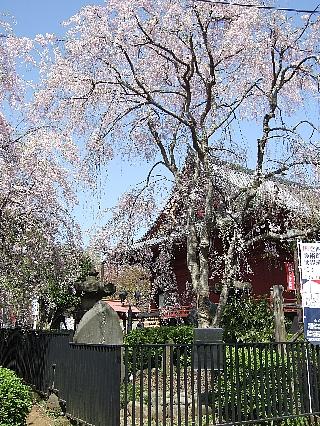 上野の桜0411