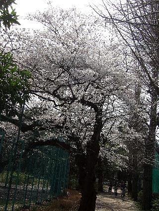 石神井の桜04