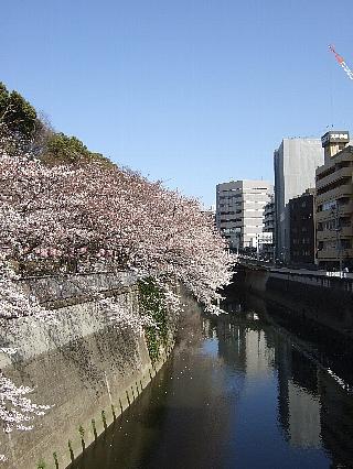 神田川の桜02