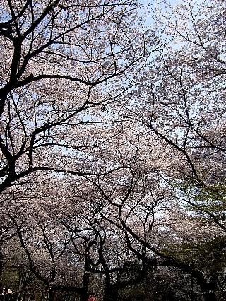 石神井の桜01