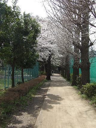 石神井の桜03