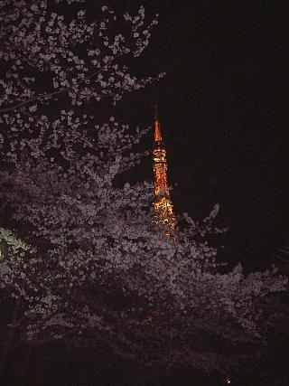 東京タワー(夜桜)増上寺3