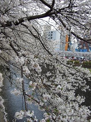 03大樽前sakura