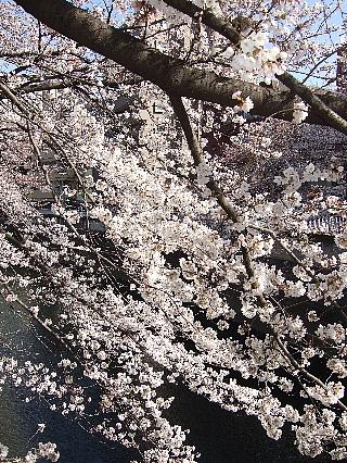 神田川の桜03