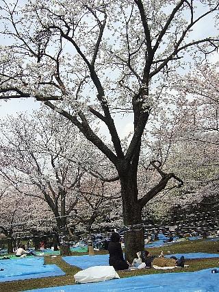 代々木公園の花見01