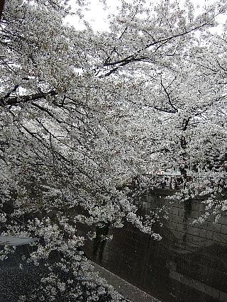 01桜01
