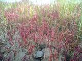サンゴ草アップ