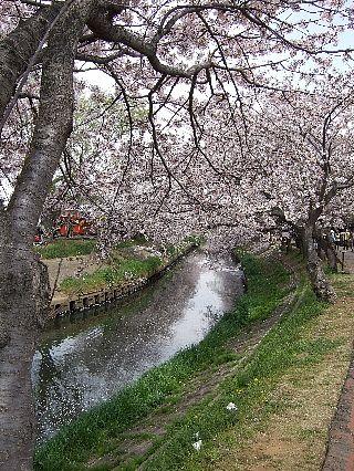 0411桜06