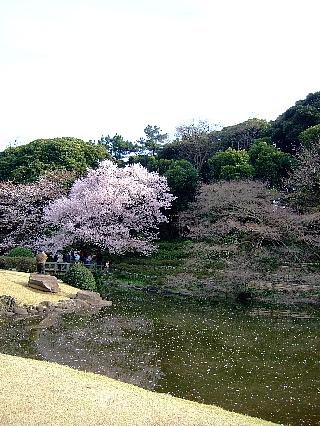 新宿御苑の桜05