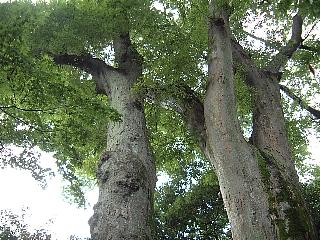15欅の古木