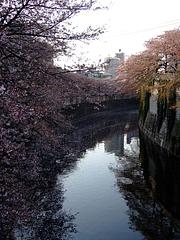2008_0406sakura0015