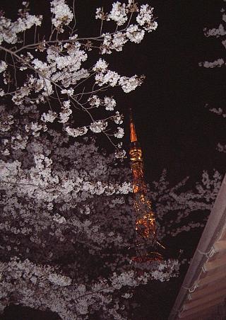 東京タワー(夜桜)増上寺1
