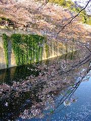 2008_0406sakura0013