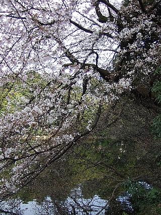 新宿御苑の桜07