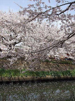 0411桜07