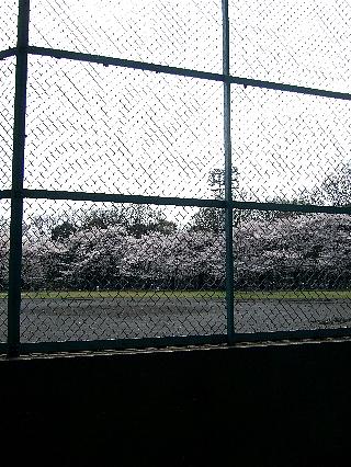 石神井の桜02