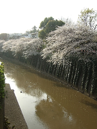 江戸川橋の桜05