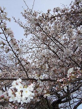 新宿御苑の桜02