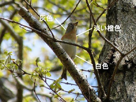 130412アトリ(房総の村) 2