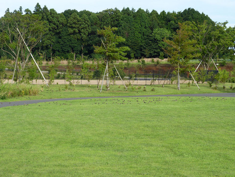 120716ムクドリの群れ(北総花の丘公園E)s