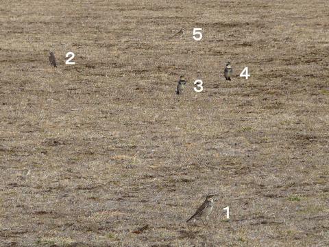 110216ツグミ(北総花の丘公園E)群れs