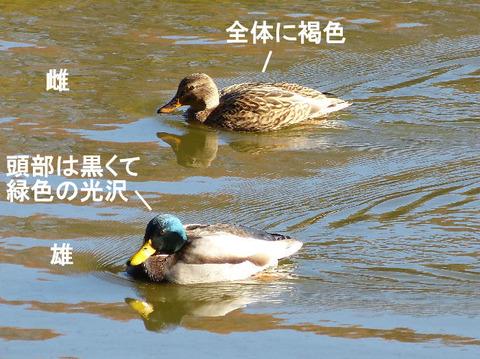 ② 121210マガモ♂♀(北総花の丘公園B) s