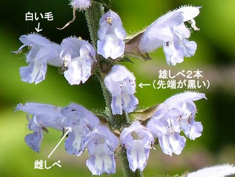 120714唇弁花(しんべんか)s