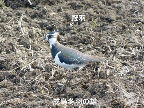 ① 130112 タゲリ(柏市手賀新田) s