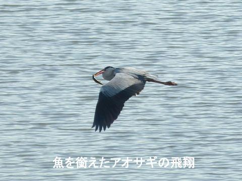 130226魚を銜えたアオサギの飛翔(戸神防災調節池)