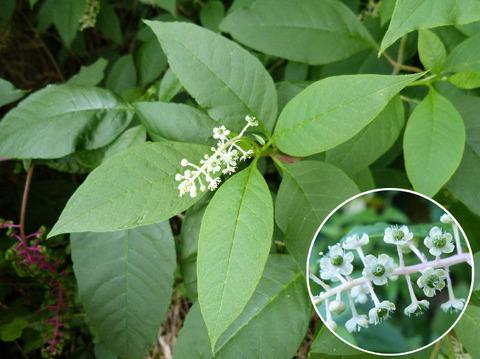 2,ヨウシャヤマゴボウの花と葉s