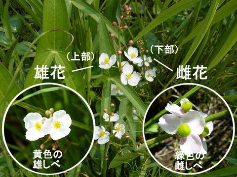 3,120729オモダカ(結縁寺)s文字