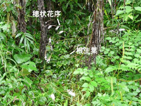 1,090915イヌショウマ群生 (北総花の丘公園)s
