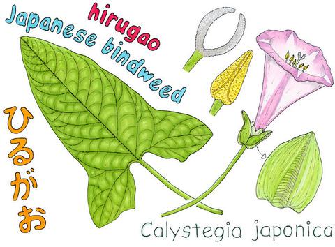 HIRUGAO-C1 s