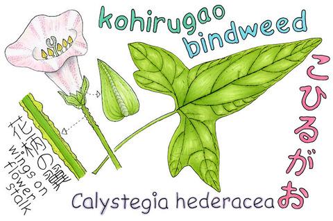 KOHIRUGAO-C1 s