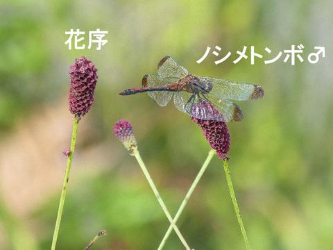 3,120924ワレモコウ(内野)ノシメトンボ♂s