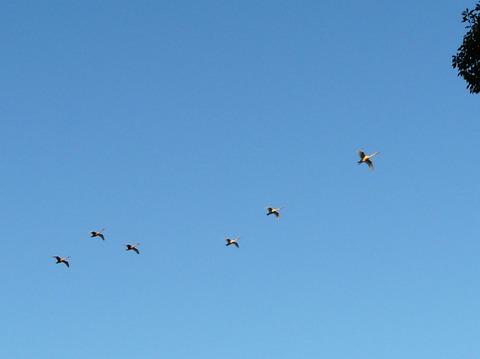 081121オオハクチョウの飛翔(戸神防災調節池)s
