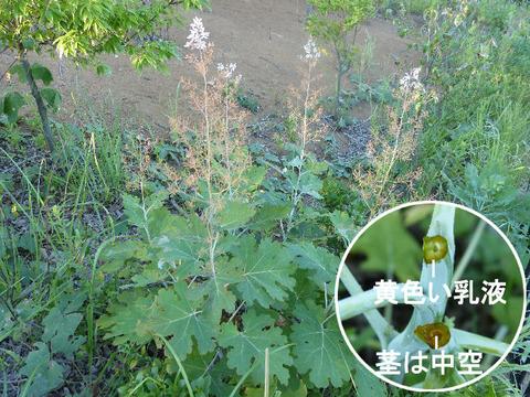 1,120827タケニグサ(北総花の丘公園)s