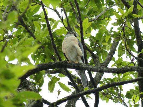 120531巣を見張るツミ(北総花の丘公園D) (1)