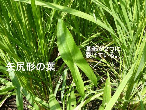 2,120815オモダカの葉(結縁寺)s文字