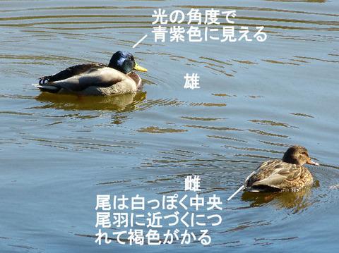 ②-2 121210マガモ♂♀(北総花の丘公園B) s
