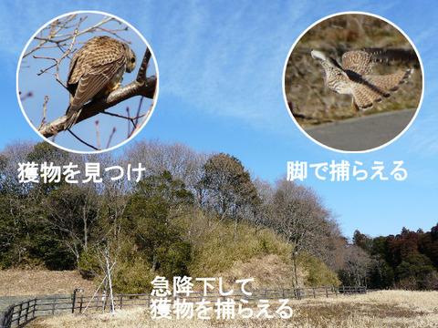 ④ 120128チョウゲンボウ (自然生態園)捕獲s