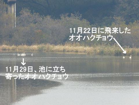 121129オオハクチョウ7羽+2羽(北総花の丘公園) s