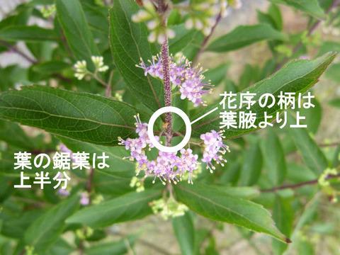 120705コムラサキの葉と花(北総花の丘公園D)文字s