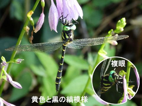 120904オニヤンマ(蒲谷津)s