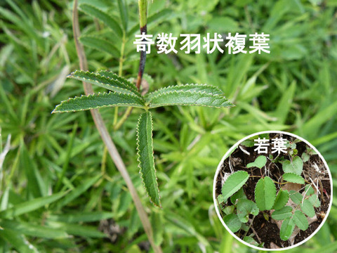 2,120924ワレモコウの茎と葉(内野)s
